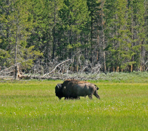 Buffalo-in-grass-field